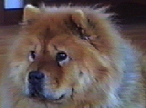 Chava, Lora and Slava's first Chow Chow.